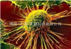 FRhK-4细胞,恒河猴胚肾细胞